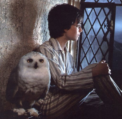 hedwig-and-harry-hedwig-the-owl-2012478-513-500